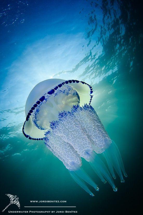 sea, jelly