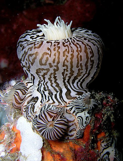 Zebra striped anenome  by Nick Hobgood on flickr