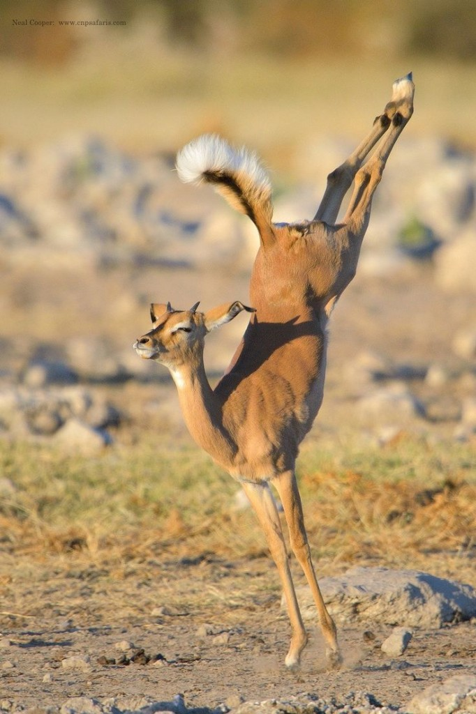 Young Impala jumps in the Etosha National Park in Namibia, Africa. ©Neil Cooper