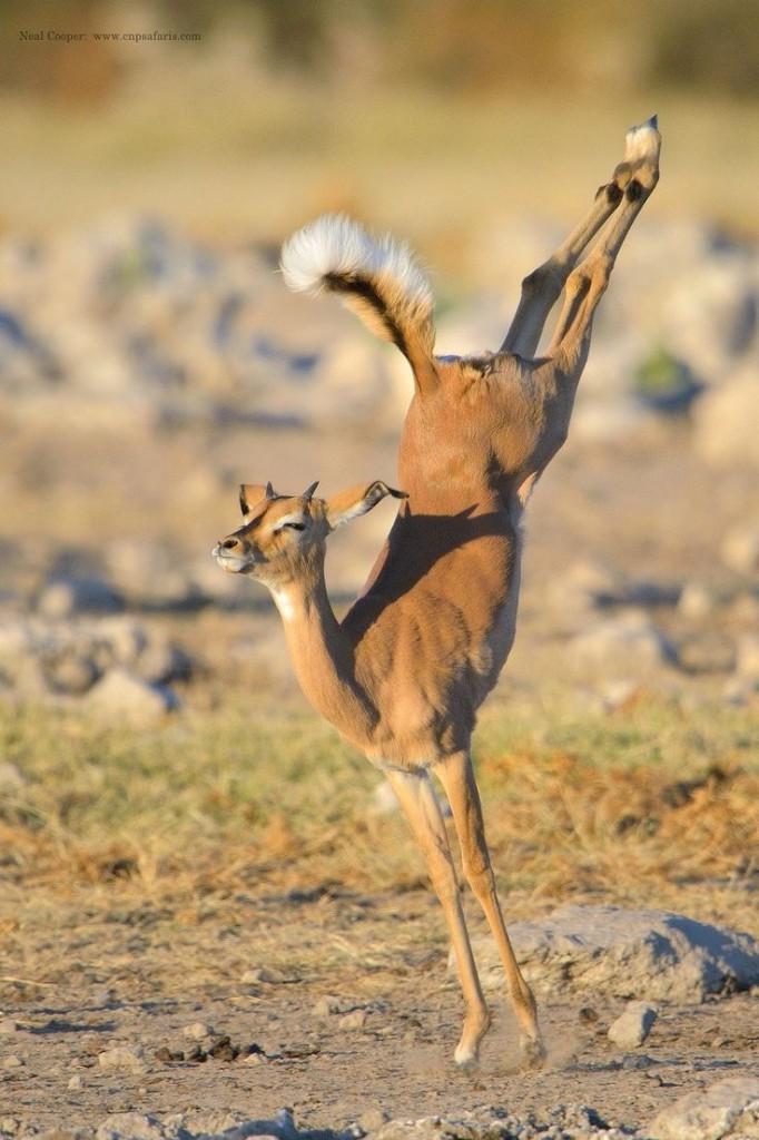 Молодые Impala прыгает в Национальный парк Этоша в Намибии, Африка.  © Neil Cooper