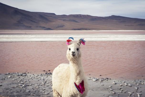 Laguna Колорадо, Боливия на 14 000 футов.  Лама.  Эстер Buttery через National Geographic