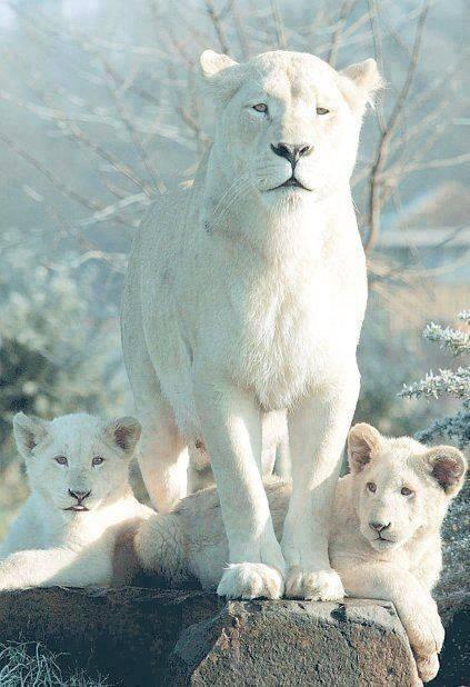 animals, albino tigers maybe