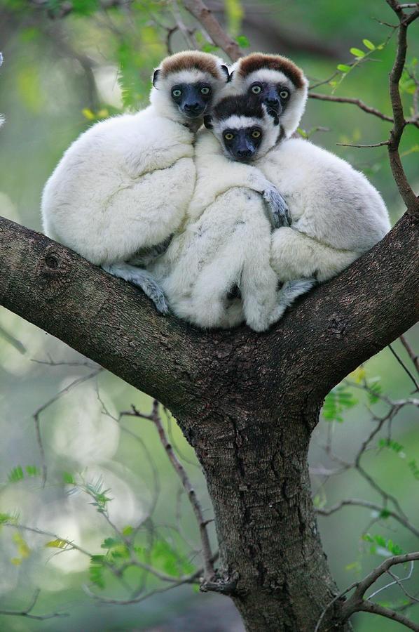 by Ciro Ruoso Sifaka Lemurs of Madagascar