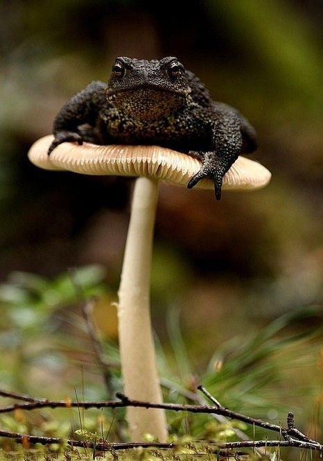 animals, frog on mushroom