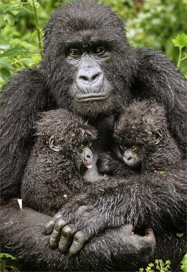 животные, gorialla и младенцев