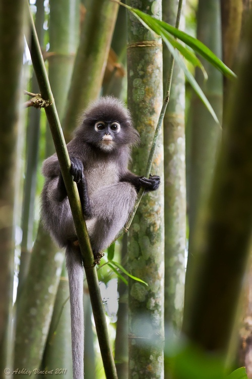 Dusky-Leaf Monkey, Malaysia, Phang, Taman Negara National Park.