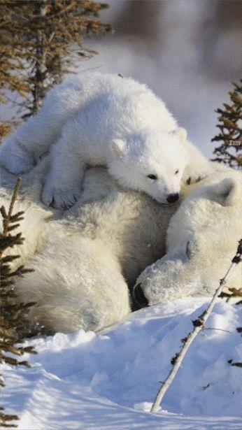 животные, полярный медведь