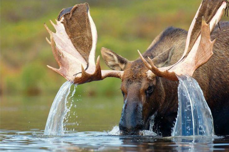 animalsl, moose
