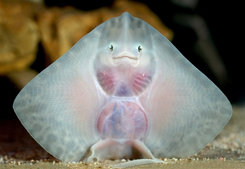 Baby thornback ray