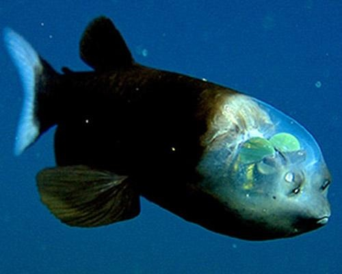 Barreleye   the Barreleye fish has a completely transparent head. Looks like leaves in its brain.
