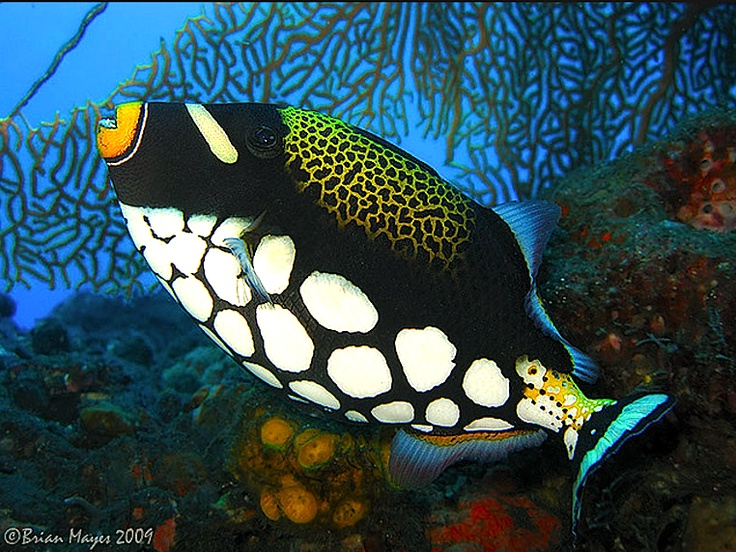 Clown Triggerfish by Brian Mayes on flickr