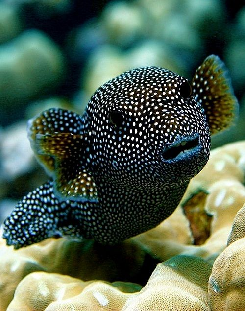 Guineafowl Pufferfish (Arothron meleagris), Moa in Hawaiian