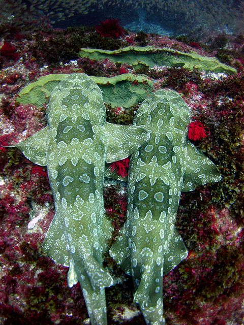 Wobbegong sharks, great name.