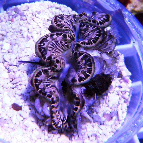 clams, 2