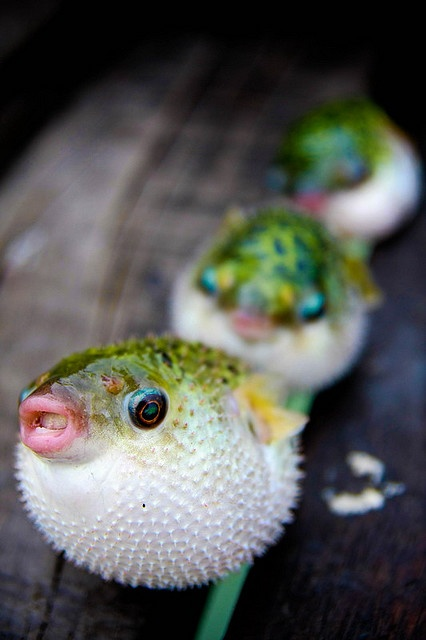 Puffer fish by peentho266 on Flickr