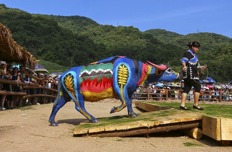International Buffalo body painting competition, in Jiangcheng county, China.