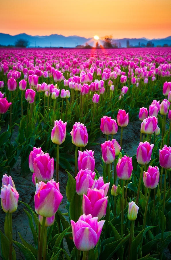 Skagit Valley Washington state, USA.  Bet you thought it was Holland.  Me too.