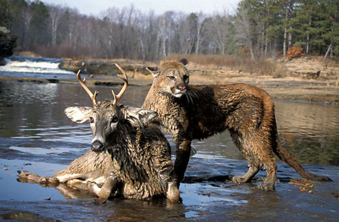 Mountain Lion, Puma, Cougar, Felis concolor, Minnesota, on deer kill, prey  USA