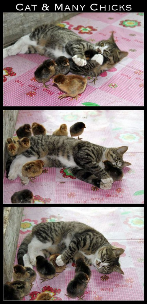 mixed, cat and chick
