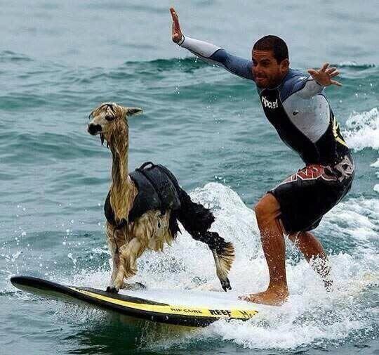 mixed species, alpaca on surfboard