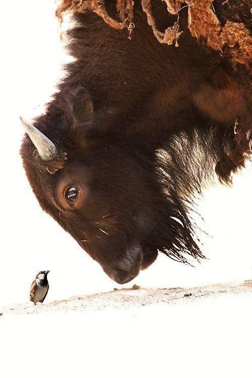mixed species, bison and bird