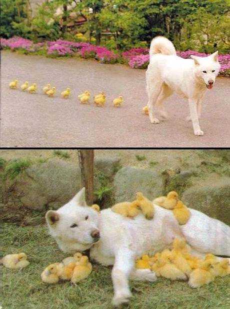 mixed species, dog and ducks