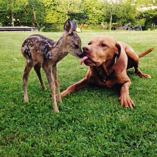mixed species, dog and fawn
