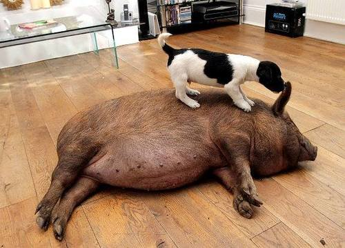 mixed species, dog and pig (2)