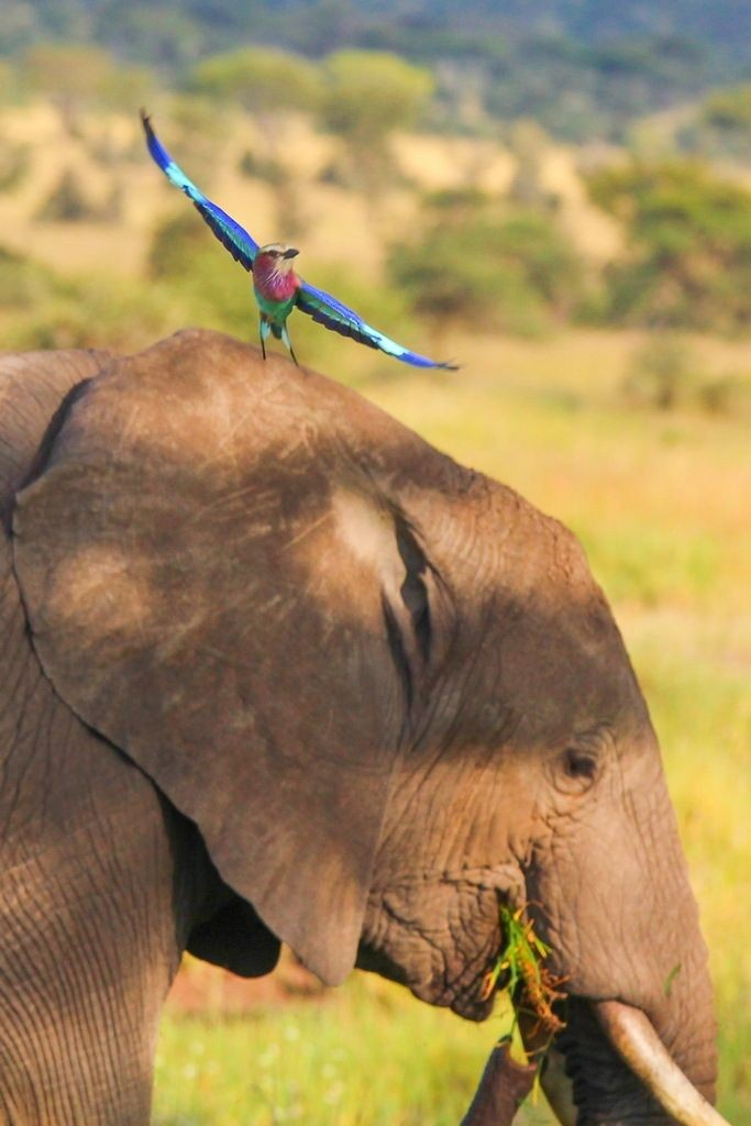 mixed species, elelphant and bird