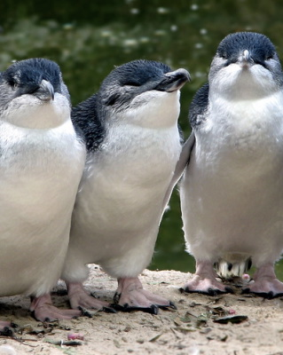 Called fairy penguins or little penguins found in S. Australia and New Zealand.