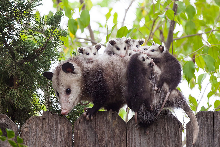 aimals, possum