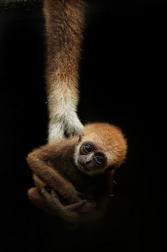 animals, Lar Gibbon - by No. Ge. on Flickr.