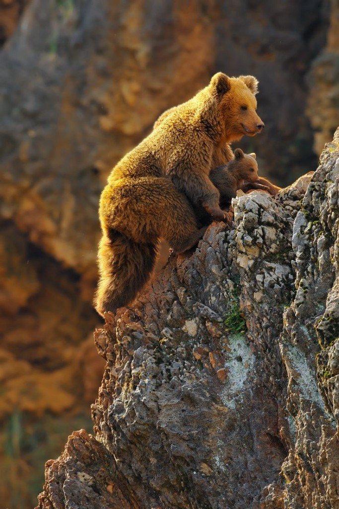animals, Learning climbing • Brown Bear Cub between Mom's legs so as not to fall • by Rob Janné
