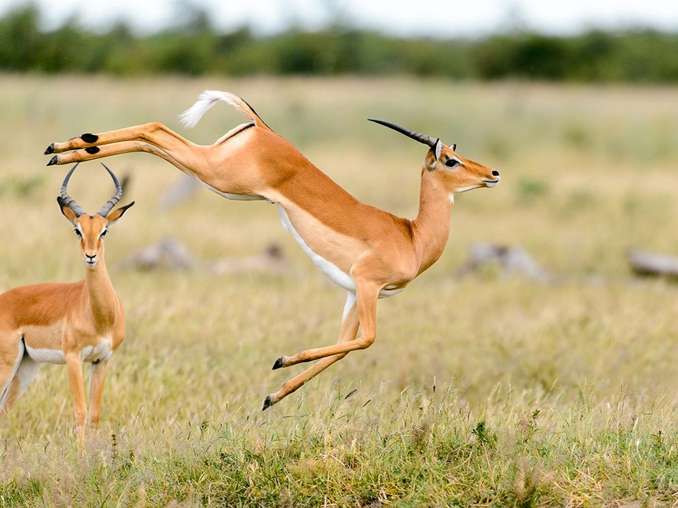 Impala in Botswana.  Photograph by Chris Schmid via National Geographic.