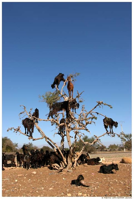 South-West Morocco, where the goats climb the Argan trees to eat argo nuts