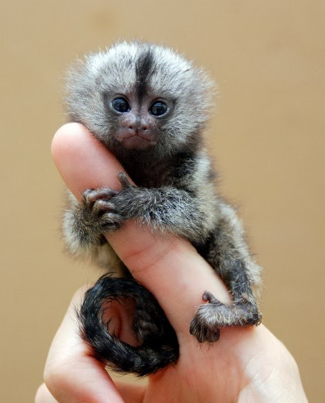Pygmy Marmoset.  If you haven't seen these, there's a whole post about them on this site.  Try search at bottom of page.