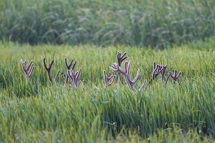 antlers in field