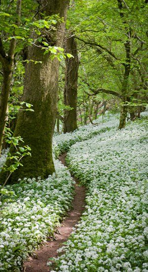 Footpath through the Wild Garlic - Milton Wood Somerset, England.