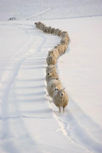 roads, sheep