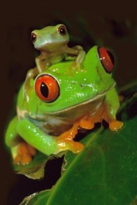 animals, frogs (2)