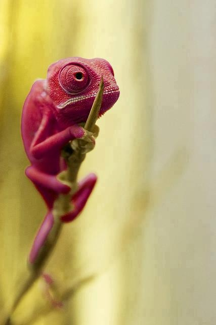 reptiles animal chameleon frog - photo #36