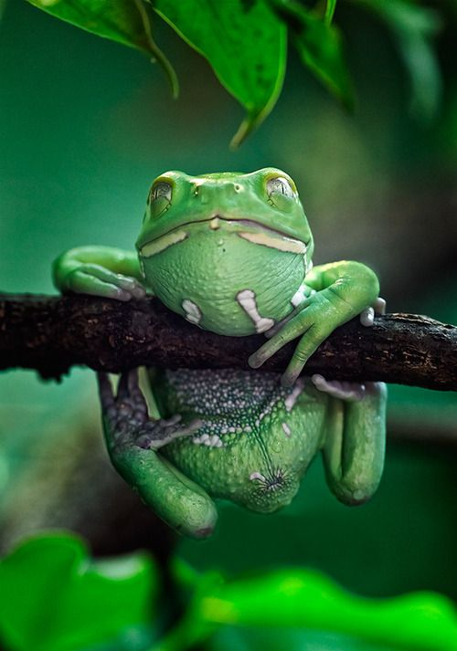 frogs, Branch Frog