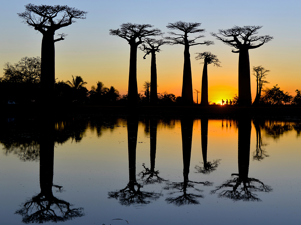 The Avenue of the Baobabs, outside of Morondava, Madagascar.  By Talia Friedman.