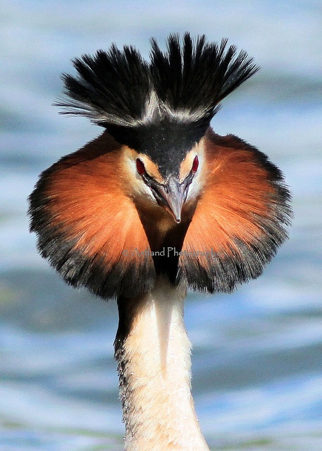 Great Crested Grebe by Astland Photography on Flickr