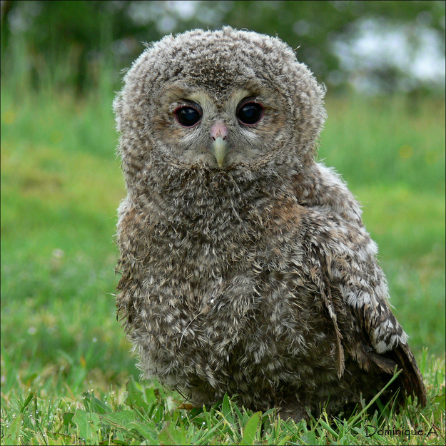 Fluffy baby owl.