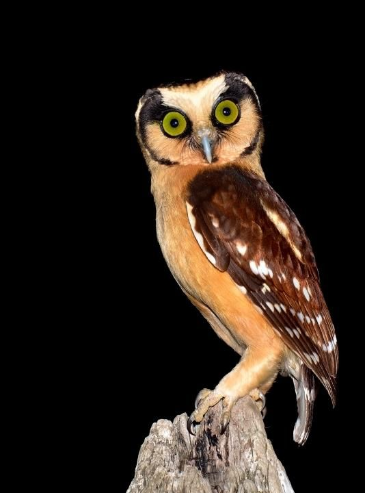 Buff-fronted Owl, from Highlands of South America.