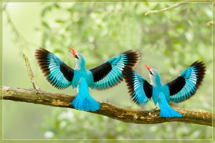 birds, Kingfisher pair, by hvhe1 on Flickr