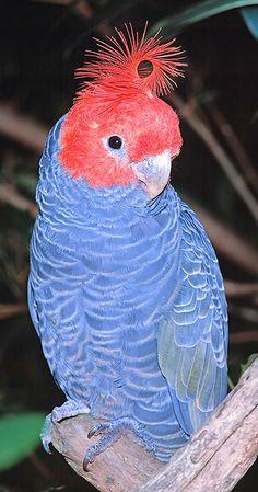 Male Gang Gang Cockatoo