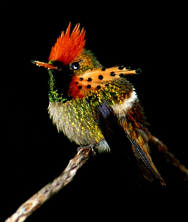 The tufted coquette in Trinidad, second only to the bee hummingbird as the smallest bird in the world. belies its size with over-sized adornments.