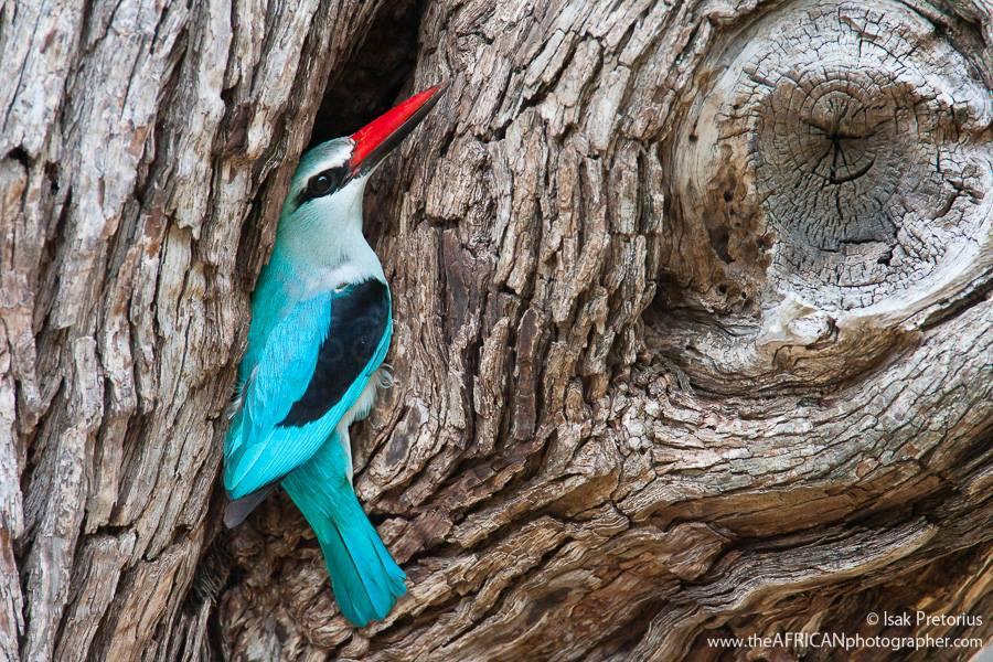 Woodland Kingfisher by Isak Pretorius